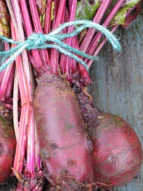 The pleasing cylindrical shape of 'Renova' beetroot.