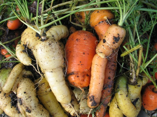 The delicate pastel shades of a 'Rainbow Mix' of carrots.