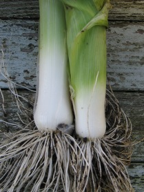 Cool and elegant 'Bleu de Solaise' leeks.