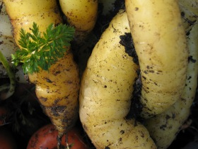 A real favourite of mine; 'Yellowstone' carrots.