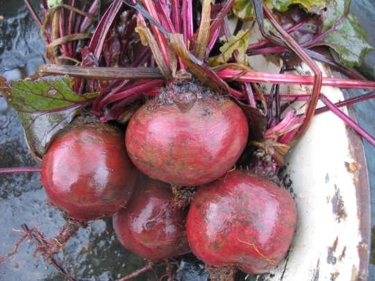Such a reliable beetroot and slow to bolt; 'Bolthardy'.