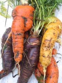 Huge and far from perfectly shaped, but some of these carrots weigh in at 1.1/4 lbs! Perfect for roasting, for soups, cakes and purees.