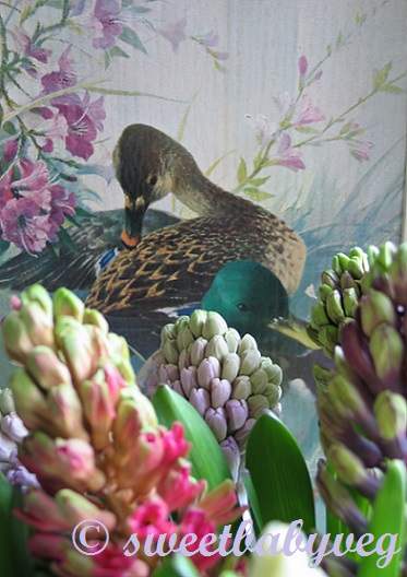 hyacinths-and-duck-feb-2014-001-copy