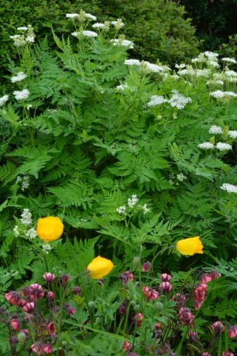 Wild yello Welsh Poppies and Sweet Cicely