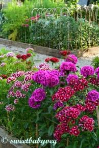 Sweet Williams in the Kitchen Garden