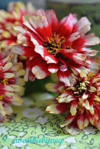 ZINNIA, 'Swizzle Cherry and Ivory'. Seed from The Kew Collection for Thompson and Morgan.