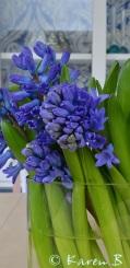 Blue, blue, heavenly blue Hyacinths
