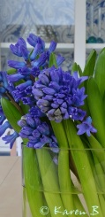 Blue, blue, heavenly blue Hyacinths